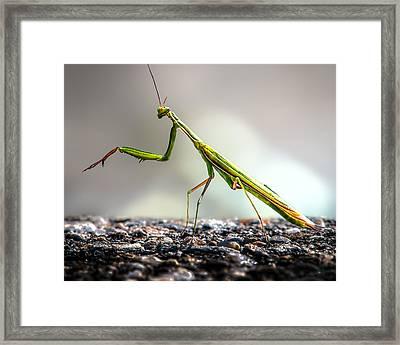 Praying Mantis  Framed Print by Bob Orsillo