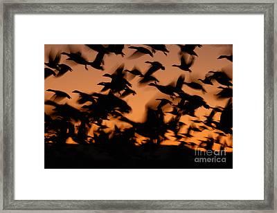 Pre-dawn Flight Of Snow Geese Flock Framed Print by Max Allen