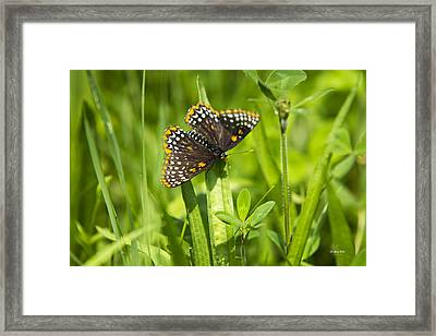 Pretty Baltimore Checkerspot Butterfly Framed Print by Christina Rollo