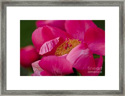 Pretty Peony Framed Print by Nick  Boren