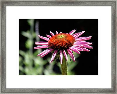 Pretty Pink Coneflower Framed Print by Rona Black