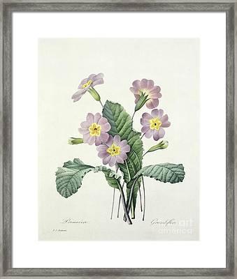 Primrose Framed Print by Pierre Joseph Redoute