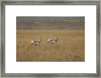 Pronghorn Antelope At The Charles M Framed Print by Joel Sartore