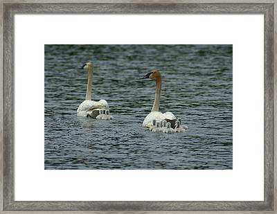 Proud Trumpeter Family Framed Print by Ron Read