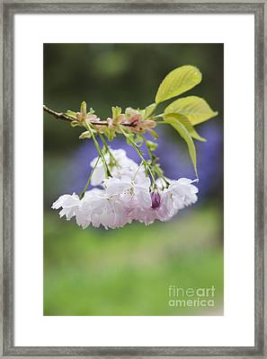 Prunus Shujaku Blossom Framed Print by Tim Gainey