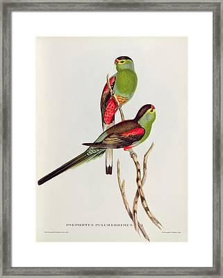 Psephotus Pulcherrimus Framed Print by John Gould