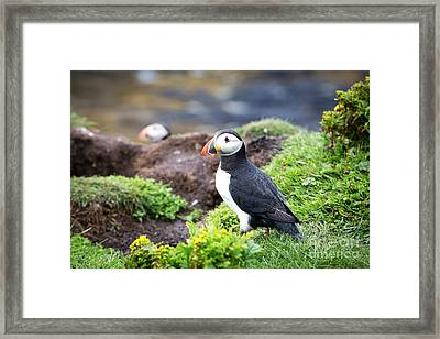 Puffin  Framed Print by Jane Rix