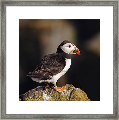Puffin On Rock Framed Print by Grant Glendinning