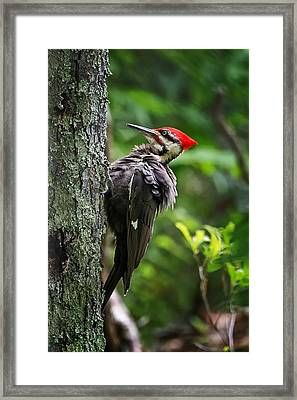 Puffy Pileated Woodpecker Framed Print by Bill Wakeley