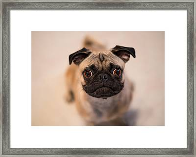 Pug Dog Framed Print by Laura Fasulo