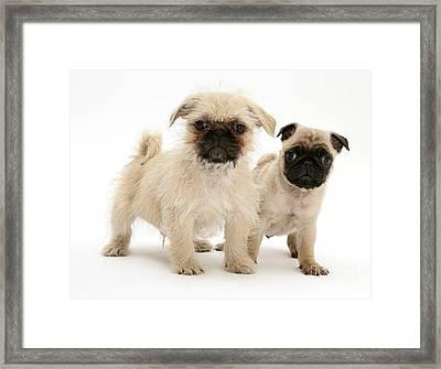 Pugzu And Pug Puppies Framed Print by Jane Burton
