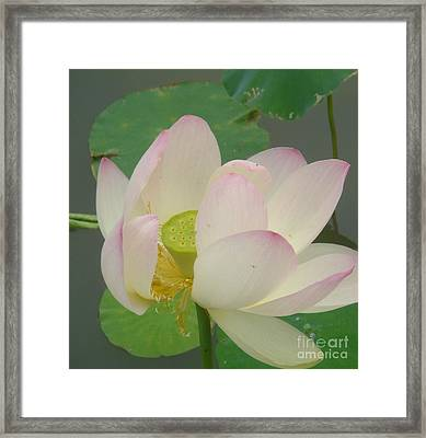 Purity Of The Pink Lotus Framed Print by Renu Anne