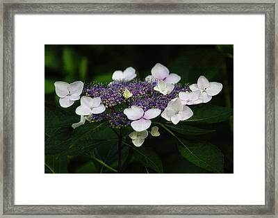 Purple And White Lacecap Hydrangea In Pastel Framed Print by Suzanne Gaff