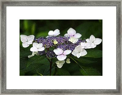 Purple And White Lacecap Hydrangea In Watercolor Framed Print by Suzanne Gaff