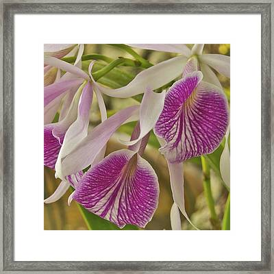 Purple And White Orchid 2 Framed Print by Michael Peychich