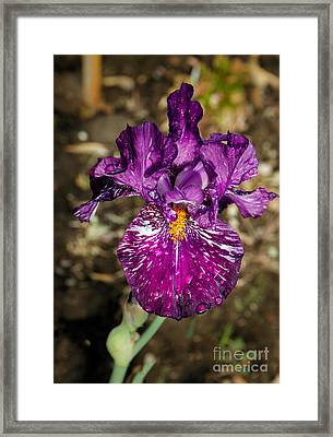 Purple Bearded Iris Framed Print by Robert Bales