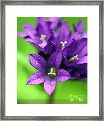 Purple Blooms Framed Print by Amanda Barcon