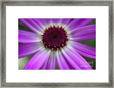 Purple Cineraria Flower Close-up 2016 Framed Print by Karen Adams