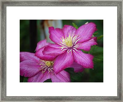 Purple Clematis Framed Print by Heather Chaput