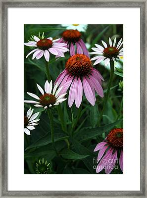 Purple Coneflowers Framed Print by Kay Novy