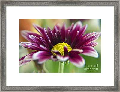 Purple Daisy Framed Print by Kelly Holm