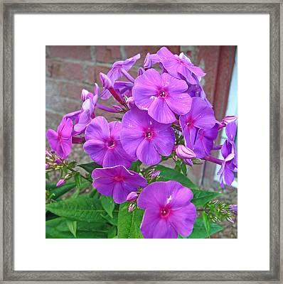 Purple Flame Phlox Framed Print by Barbara McDevitt