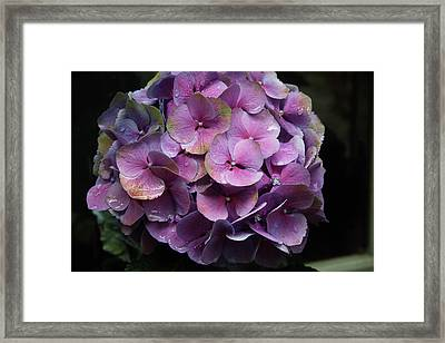 Purple Hydrangea- By Linda Woods Framed Print by Linda Woods
