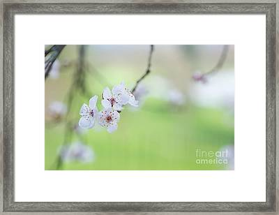 Purple Leaved Cherry Plum Blossom Framed Print by Tim Gainey