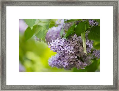 Purple Lilac Framed Print by Nailia Schwarz
