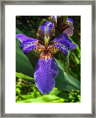 Purple Lily Framed Print by Kendall Tabor