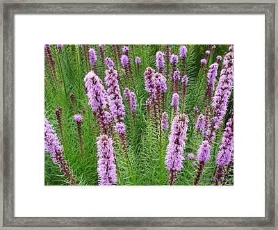 Purple Missles Framed Print by Deborah  Crew-Johnson