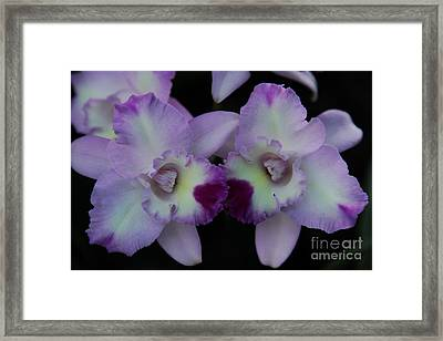 Purple Orchid Framed Print by Amy Sorvillo