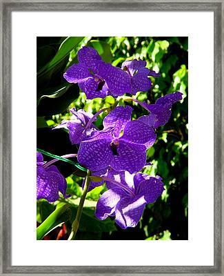 Purple Orchids Framed Print by Susanne Van Hulst