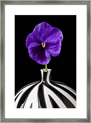 Purple Pansy Framed Print by Garry Gay