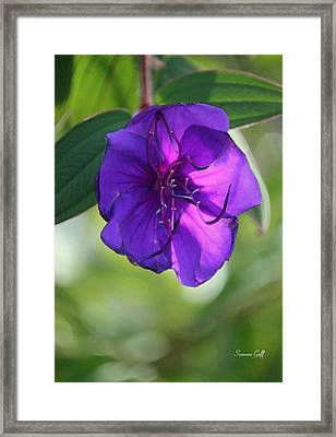 Purple Passion Framed Print by Suzanne Gaff