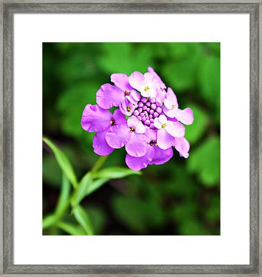 Purple Pincushion Flower Framed Print by Cathie Tyler