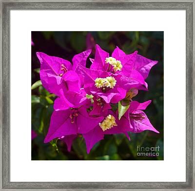 Purple Posy Framed Print by John Clark