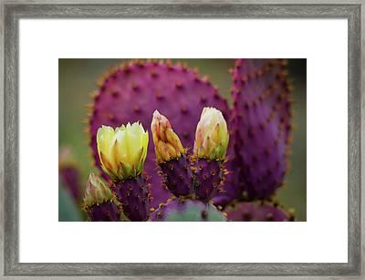 Purple Prickly Pear Cactus Framed Print by Saija Lehtonen