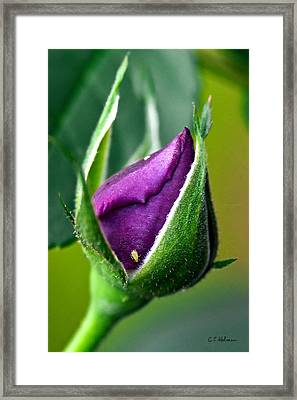 Purple Rose Bud Framed Print by Christopher Holmes