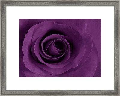 Purple Rose Of Artsy Framed Print by Leonard Rosenfield