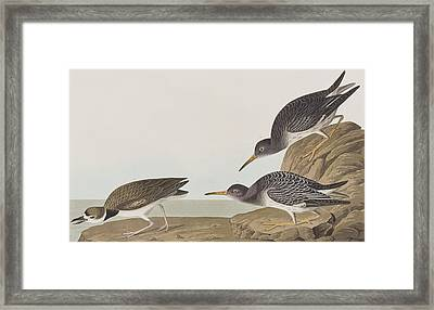 Purple Sandpiper Framed Print by John James Audubon