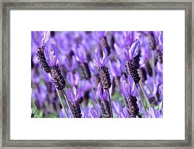 Purple Spanish Lavender Flower Framed Print by Brandon Bourdages