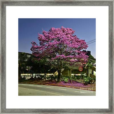 Purple Trumpet Tree In Urban Environment Framed Print by Carlos Alkmin
