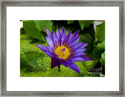 Purple Water Lily Framed Print by Ray Laskowitz - Printscapes