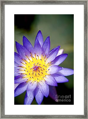 Purple Waterlily Close-up Framed Print by Kicka Witte - Printscapes
