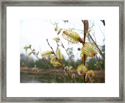 Pussy Willow Blossoms Framed Print by Kent Lorentzen
