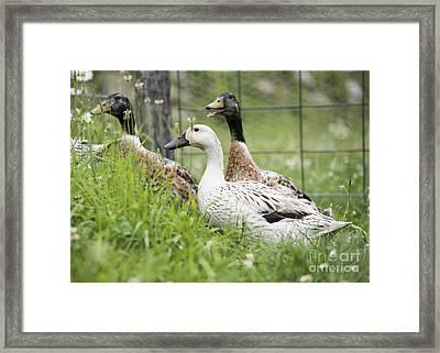 Quack Framed Print by Juli Scalzi