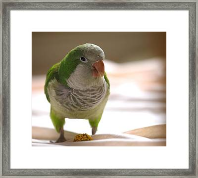 Quaker Parrot Framed Print by Mark Platt