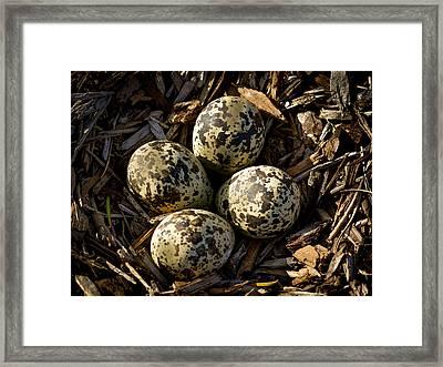 Quartet Of Killdeer Eggs By Jean Noren Framed Print by Jean Noren