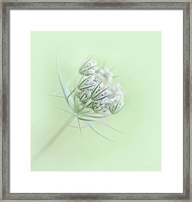Queen Anne's Lace Flower Buds Framed Print by Jennie Marie Schell